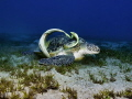 Green Turtle with Remoras