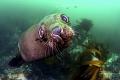 Curious Cape fur seal  Patridge point False bay  South Africa