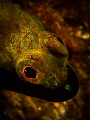 black lip blenny