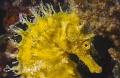 profile... Hippocampus guttulatus Croatia
