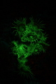 Fluorescent zoanthids display a large amount of GFP (green fluorescent protein).