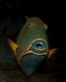 Orange-lined Triggerfish