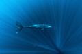 Physeter macrocephalus - Sperm Whale