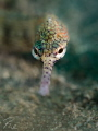 Pipefish close up