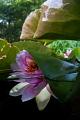 waterlily splitshot