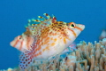 Dwarf Hawkfish Couple