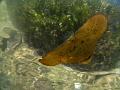Juvenile batfhish in shallow water during surface break at Yembraimuk (Raja Ampat)