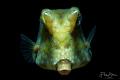 Portret of a Thornback boxfish (Lactoria fornasini), Lembeh strait, Indonesia.