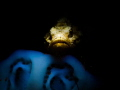 Devil Scorpionfish hiding in the dark.