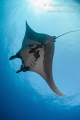 Mantaray with Sun  Isla Socorro M xico