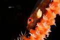 两粒米  goby with parasitic  在一根海鞭上看到这条小鱼 认真观察发现它鳃部长了两粒寄生虫 这种寄生虫会吸附在鱼身体上 吸食鱼身体上的营养 慢慢会造成小鱼营养不良而死亡  Canon 5D Mark III 100mm f/14 1/200 ISO 100                                                             Lembeh  Indonesia. APRIL 2017  A.T.G 2300 ...
