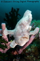 Downward frog  A play on the downward dog pose in yoga this Giant Frogfish was perfectly balanced on a cluster of tube sponges waiting for a meal to swim by
