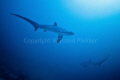 2 Thresher Sharks cicling