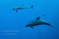Dolphins in the Blue  Roca Partida M xico