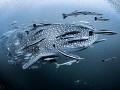 Pour  Whale Shark   Rhincodon typus  Sail Rock  Thailand