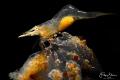 Pregnant Chamaeleon prawn(Hippolyte varians Leach), Zeeland, the Netherlands.