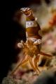 Squat shrimp portrait - No crop