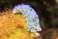Elysia crispata - Blumenkohl-Sackzungenschnecke - Curaçao