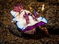 tulamben nudibranch