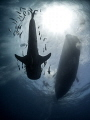 Critical Mass  Whale Shark - Rhincodon typus  Sail Rock, Thailand