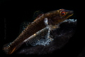 Black Tunicate Goby with Egg
