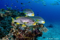 Close encounter with Diagonal-Banded Sweetlips in Raja Ampat.