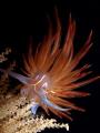 Dondice banyulensis FIREWORK