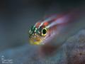 Juvenile triplefin goby