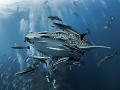 Shock and Awe  Whale Shark - Rhincodon typus  Sail Rock, Thailand
