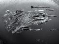 If six was nine ...  Whale Shark - Rhincodon typus  Sail Rock, Thailand