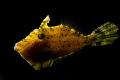 Filefish Lantern