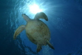 a green see turtle majestically swims above