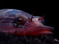 Lepadogaster lepadogaster Up side down life