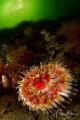 Dahlia anemone (Urticina felina), Lake Grevelingen , The Netherlands.