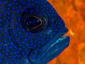 Western blue devil    Paraplesiops sinclairi