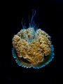 Interstellar  Jellyfish - Thysanostoma thysanura  Sail Rock, Thailand