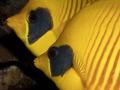 Masked Butteflyfish / Chaetodon semilarvatus