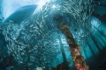 A large school of fish under the jetty of Arborek Island - Raja Ampat