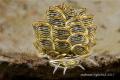Butterfly Seaslug