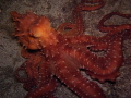 Octopus macropus Night time hunter