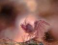 Chasing Lights  Hairy shrimp ( Phycocaris simulans )