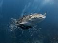 Top Banana!   Whale Shark - Rhincodon typus  Sail Rock, Thailand