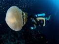 JellyMan  Jellyfish - Thysanostoma thysanura  Sail Rock, Thailand