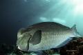 Bumphead Parrotfish  Canon 80d Sea&Sea mdx80 housing and d2 strobes Tokina 10-17 lens