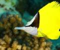 Angel fish Mauritius.Grand Bay Mauritius 12 metres  Jean Yves Bignoux
