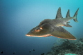 Rhina ancylostoma 