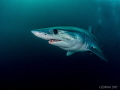 Beautiful Mako shark that I had the awesome pleasure to dive with for over an hour.  Dive of a lifetime....so far :)