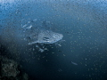 Sneaky Whale Shark - Rhincodon typus Sail Rock, Thailand