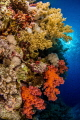 Soft corals of Red Sea