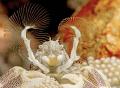 The sweeper. Porcelain Crab. Batu Belah  Bali.